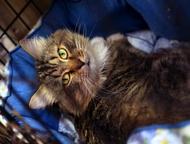 Этот кот по имени Кокош он ищет добрую семью Неунывающий Кокош ищет любящую семь