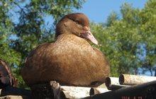 Молодняк с/х птица на 2015-ый год