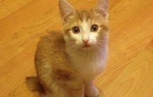 Хотите завести короткохвостого котёнка?