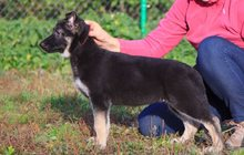 Клуб ВЕО-Служебная собака (РКФ) продает щенков
