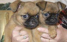 Великолепные щенки гриффона и пти-брабансона