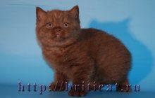 Британские плюшевые шоколадные котята