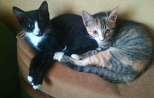 Очаровательные котята в добрые руки, в дар