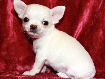 Скачать бесплатно foto Собаки и щенки Чихуахуа продам 32357278 в Москве