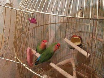 Смотреть foto Птички Розовощекие неразлучники с большой клеткой 32522826 в Москве