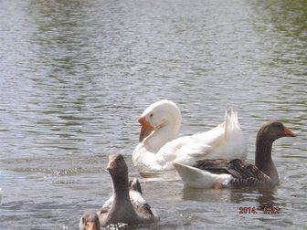 Увидеть фото  Молодняк с/х птица на 2015-ый год 32705766 в Москве