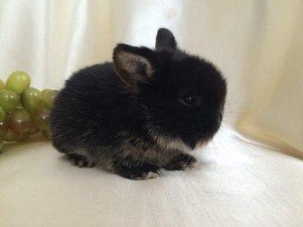 Новое foto  Декоративные карликовые кролики, питомник в Москве 32715885 в Москве