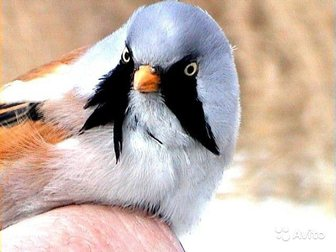 Свежее фото Птички Усатые синицы 33764108 в Москве