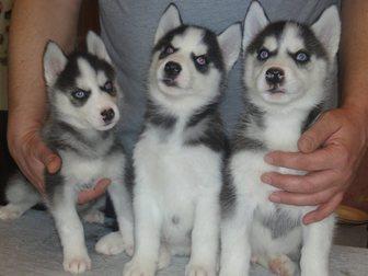 Уникальное foto Продажа собак, щенков Кобель сибирского хаски для вязки 34344966 в Москве