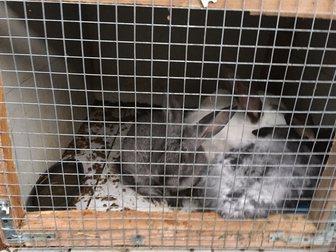 Уникальное фотографию Другие животные Парное мясо кролика и живые крольчата пород Калифорниец, Ризен, Серый великан, Венский черный, 34565406 в Москве