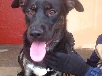 Уникальное фотографию  Молодой пес Сэм в добрые руки, в дар, 44666518 в Москве