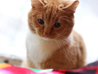 Просмотреть фотографию  Рыжий красавец сэр Томас ищет дом, 50221829 в Москве