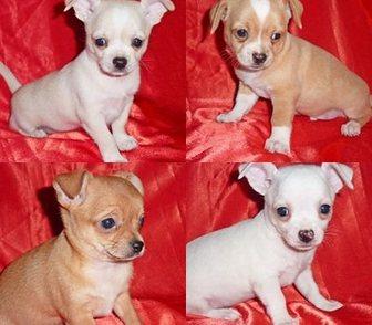 Фото в Собаки и щенки Продажа собак, щенков Мечтали приобрести крохотную собачку – только в Москве 8000