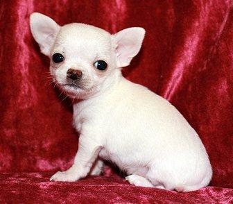 Фотография в Домашние животные Собаки и щенки Чихуахуа очень красивые породные мальчики в Москве 0