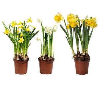 Изображение в Домашние животные Растения Нарциссы в горшке-самый весенний подарок. в Москве 750