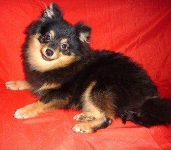 Изображение в Собаки и щенки Продажа собак, щенков Предлагаем замечательных подрощенных щенков в Москве 18000