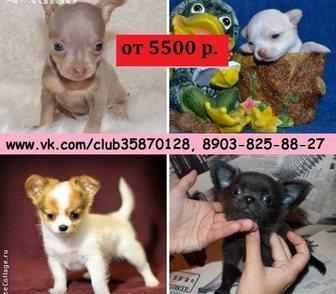 Фотография в Собаки и щенки Продажа собак, щенков Чистокровные щенки чихуахуа, а также чистокровные в Москве 0