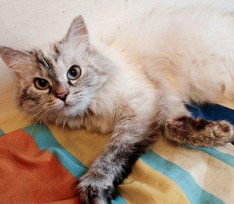 Фото в Кошки и котята Продажа кошек и котят Ищем новую семью для невской маскарадной в Москве 0