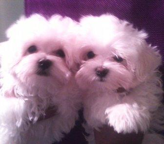 Фото в Собаки и щенки Продажа собак, щенков Очаровательные белоснежные щенки мальтезе. в Москве 25000