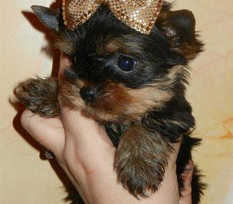 Изображение в Собаки и щенки Продажа собак, щенков Продаются щеночки йоркширского терьера, 4 в Москве 12000