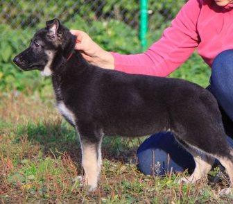 Изображение в   Клуб ВЕО-Служебная собака (РКФ) продает щенков в Москве 20000