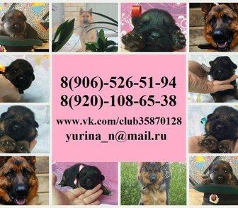Фотография в Собаки и щенки Продажа собак, щенков Продам недорого щеночков немецкой овчарки! в Москве 0