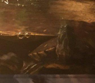 Фотография в   Отдам в хорошие руки, двух красноухих черепах в Москве 0