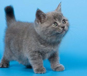 Изображение в Кошки и котята Продажа кошек и котят Монопородный питомник британских короткошерстных в Москве 15000