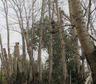 Фото в Услуги компаний и частных лиц Разные услуги Кронирование и обрезка деревьев в Москве в Москве 99