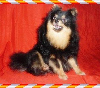 Фото в Собаки и щенки Продажа собак, щенков Продаю подрощенных ( 9 мес.) щенков немецкого в Москве 14500