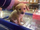 Фотография в Собаки и щенки Продажа собак, щенков Щенку примерно 1, 5 месяца, девочка. Предположительно в Мурманске 100