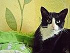 Фото в Кошки и котята Продажа кошек и котят Веточка - молодая кошечка в классической в Мурманске 0