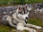 Фото в Собаки и щенки Вязка собак Сибирский хаскикобель в поисках невесты. в Мурманске 0
