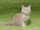 Изображение в Кошки и котята Продажа кошек и котят Предлагается к резерву шикарный котенок мейн-кун, в Мурманске 0