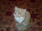 Изображение в Потерянные и Найденные Потерянные Пропал рыжий кот. Окрас рыжий снизу белый. в Муроме 1000