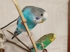 Смотреть foto  Волнистые попугаи-от Заводчика 68772137 в Мытищи