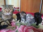Фото в Кошки и котята Продажа кошек и котят шотландские чистокровные котята в Набережных Челнах 0