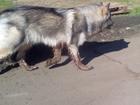 Изображение в   Найдена собака метис хаски и лайки. Без ошейника. в Набережных Челнах 0