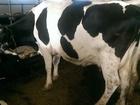 Скачать бесплатно фото Другие животные Продажа Крупно Рогатого Скота Нетели и Тёлки 66335883 в Набережных Челнах