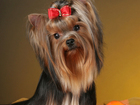 Скачать фото  Щенки йорка,йоркширского терьера щенки,собаки-компаньоны,йорки,продажа собак,купить йорка,цена йорка,щенки йоркширского терьера 32331030 в Надыме