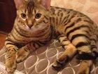Foto в Кошки и котята Вязка Бенгальский кот из питомника MyTime, от в Находке 35000