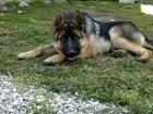 Смотреть фотографию Вязка собак Вязка немецкая овчарка 2 года кобель 32530711 в Нальчике