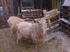 Фото в Домашние животные Другие животные Продается козел зааненский на племя в связи в Нефтекамске 15000