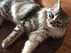 Просмотреть фотографию Вязка кошек Вязка с котом той же породы или похожего окраса 66418430 в Нефтекамске