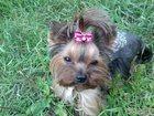 Фотография в Собаки и щенки Стрижка собак Стрижка животных, вычёсывание колтунов, обрезание в Нижнем Новгороде 700