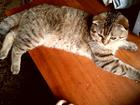 Фото в Кошки и котята Вязка Шотландский кот ( скотиш-фолд) редкого окраса в Нижнем Новгороде 1000