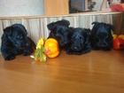 Фото в Собаки и щенки Продажа собак, щенков Предлагаются к резервированию щенки - девочки, в Нижнем Новгороде 30000