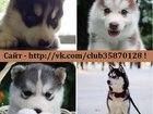Фото в Собаки и щенки Продажа собак, щенков Продам щеночков хаски разных окрасов недорого! в Нижнем Новгороде 0
