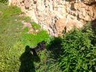 Фото в Собаки и щенки Вязка собак Такса жесткая чистакровная 4 года . Есть в Нижнем Новгороде 0