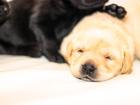 Скачать foto Собаки и щенки Щенки лабрадора палевого и классического черного цвета 35340673 в Нижнем Новгороде